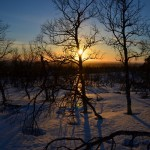 Fell birches at sunset.