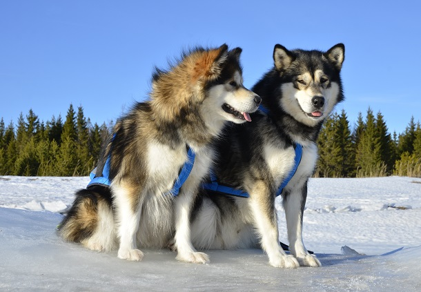 Neewa Harnesses on Malamutes