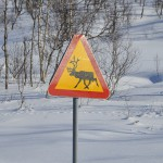 We skijored through Sámi reindeer land, but didn't encounter any reindeer this time.