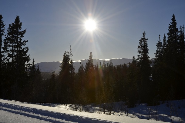 Sun over spruce forest